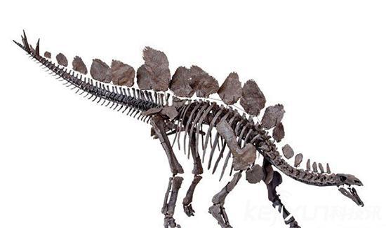美国发现最完整剑龙骨架化石 有利于研究恐龙生态
