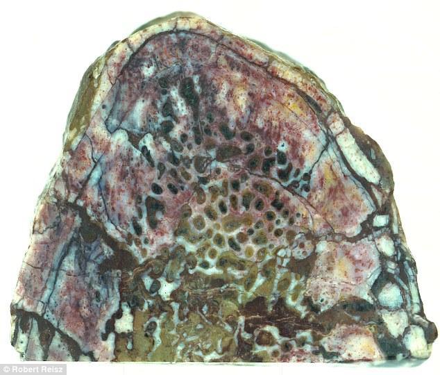 科学家发现恐龙肋骨化石中保存完好的蛋白质